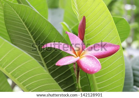 the red frangipani with green Leaves background - stock photo