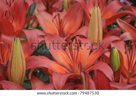The Red LIly flowers and buds