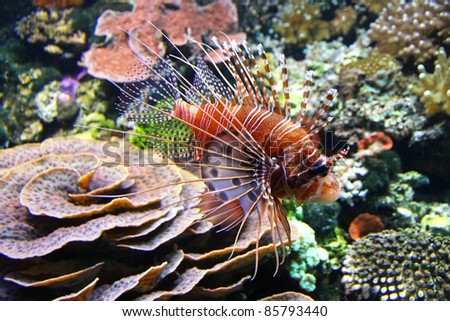 The Red lionfish (Pterois volitans) in the water - stock photo
