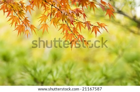 the red maple leaf in autumn - stock photo