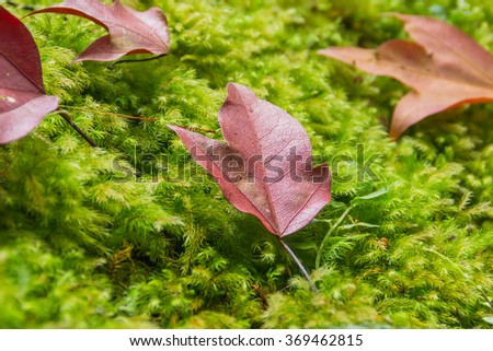 The red maple leaves fall on the green moss and fern background in the forest. Freshness background