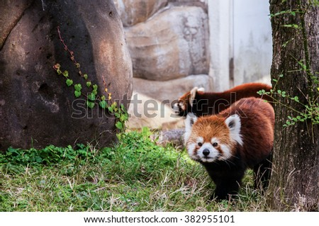 The red panda or lesser panda (Ailurus fulgens) - stock photo
