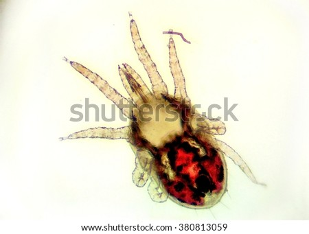 The red poultry mite (Dermanyssus gallinae) under the microscope. Ugly little red mite with eyght legs with white background. - stock photo