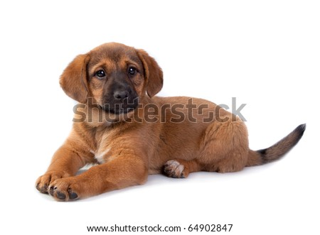 The red puppy lays on a white background - stock photo