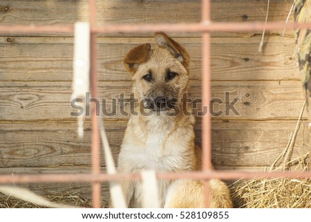 The red puppy sitting on a background of boards and hay outside the home.