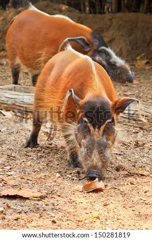 The red river hog, also known as the bush pig, is a pig living in Africa. - stock photo