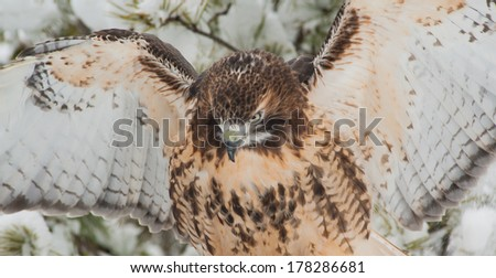 The Red-Tailed Hawk gives an intense stare as it spreads it's wings ready for flight. - stock photo