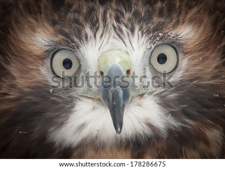 The Red-Tailed Hawk gives an intense stare into the camera as it is always curious. - stock photo