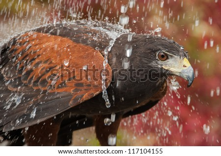 The red-tailed hawk is an awesome creature. this hawk has been rehabilitated and is now flying free over the mountains of North Carolina - stock photo