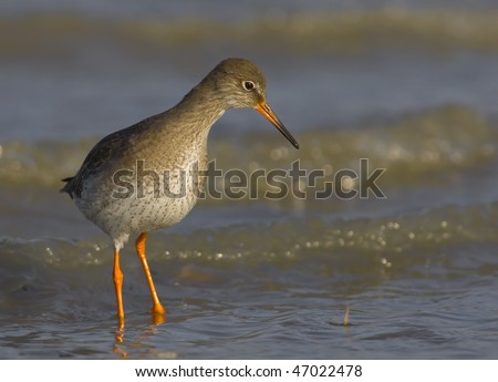 The Redshank is an Eurasian wader in the large family Scolopacidae.