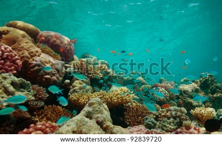 The reef with corals and blue fishes
