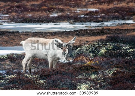 The reindeer grazed in tundra on Yamal, Russia - stock photo