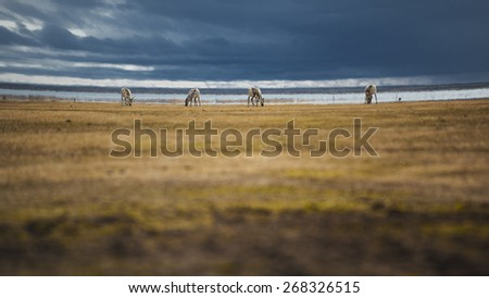 The reindeer in eastern part of Iceland. - stock photo