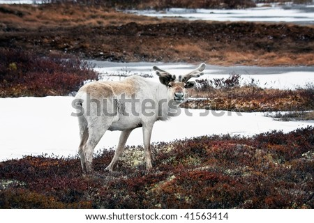 The reindeer standing on open space of tundra, Yamal - stock photo