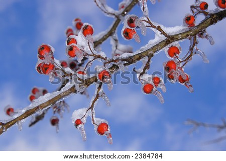 The results of the snow and ice storm that hit St. Louis, Missouri early in the winter of 2006, This shows a Hawthorn tree and its berries covered in ice and then snow on top. - stock photo