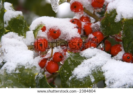 The results of the snow and ice storm that hit St. Louis, Missouri early in the winter of 2006. Here we wee holly and holly berries covered in ice and then snow. - stock photo