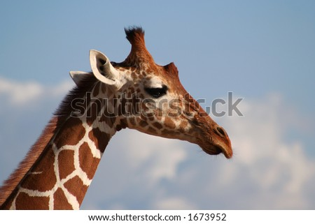 The reticulated giraffe has very clearly defined edges between its markings. - stock photo