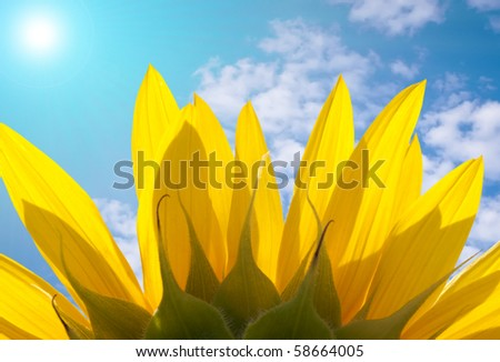 The reverse side of sunflower petals with beautiful skyline and the sun shining - stock photo
