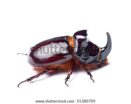 The rhinoceros beetles or rhino beetle are a subfamily of beetles in the family of scarab beetles (Scarabaeidae) - stock photo