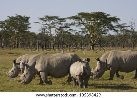 The rhinos - stock photo