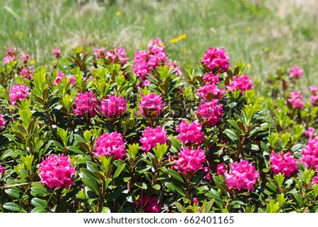 The 'Rhododendron ferrugineum' bush