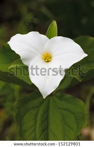The rich loamy soil of the woodland is home to this attractive and charismatic perennial wildflower. The three large white petals stand out against the green leaves of the large flowered trillium. - stock photo