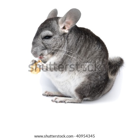 The ridiculous chinchilla eats a dried cucumber