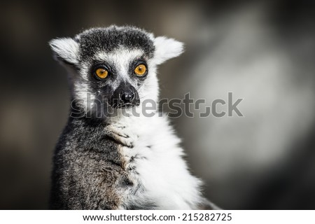 The ring-tailed Lemur Catta, endemic to the Madagascar, is a large Strepsirrhine primate and the most recognized lemur due to its long, black and white ringed tail. - stock photo
