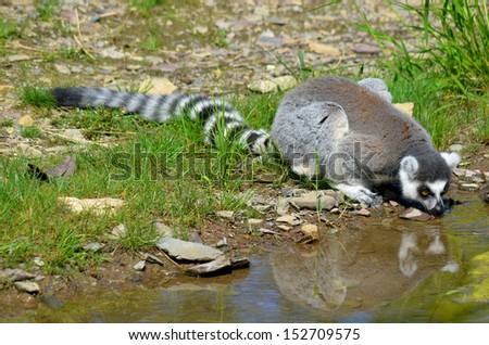 The ring-tailed lemur (Lemur catta) is a large strepsirrhine primate and the most recognized lemur due to its long, black and white ringed tail.  - stock photo