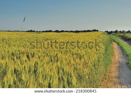 The road along wheat field