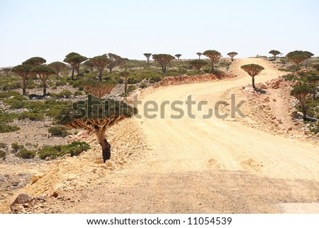 The road through the Dragon tree forest - endemic tree from Soqotra, Yemen