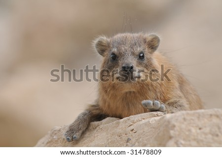 The Rock Hyrax male