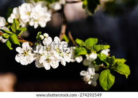 The romantic Flowers of the apple blossoms on a spring day. - stock photo