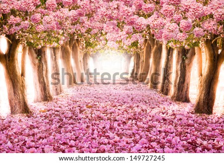 The romantic tunnel of pink flower trees - stock photo