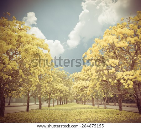The romantic tunnel of yellow flower trees - stock photo