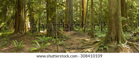 The roots and trunks of some very large red cedar and Douglas Fir trees in Cathedral Grove, MacMillan Provincial Park, Vancouver Island, BC