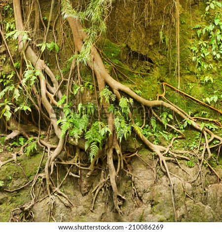 The roots of a tropical tree in the soil eroded by rain - stock photo