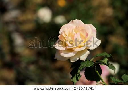 The rose in garden - stock photo
