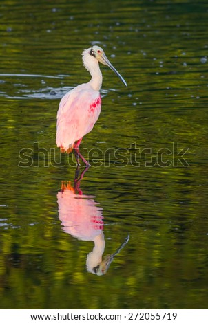The roseate spoonbill is a beautiful and bizarre bird photographed here in early morning light at JN Ding Darling National Wildlife Refuge on Florida's Sanibel Island. - stock photo