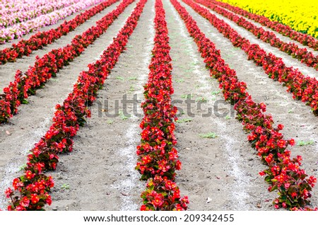 The rows of red begonia Flower garden between with Ameria flower and marigold flower rows  tomita farm.japan summer.japan flower. - stock photo