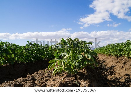 The rows of vegetables growing in the California farmland. - stock photo