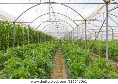 The rows of young bio lust tomatoes growing in large plant nursery. All seasons production of fruit and vegetables in the greenhouse. - stock photo