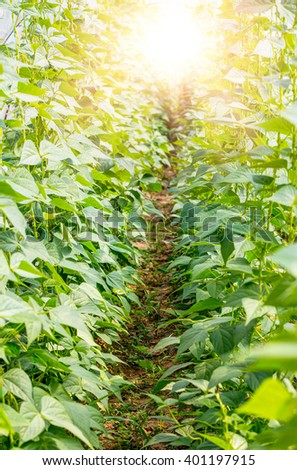 The rows of young plants (beans) growing in the greenhouse - stock photo