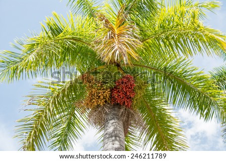 The Royal Palm is the Cuban National Tree - stock photo
