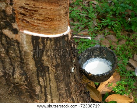 The rubber that come out from tree call Hevea Brasiliensis