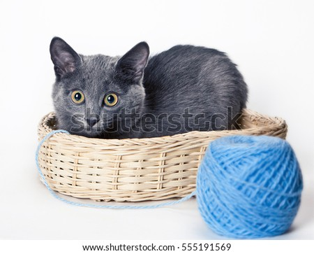 The Russian blue cat in a basket next to a ball on white background