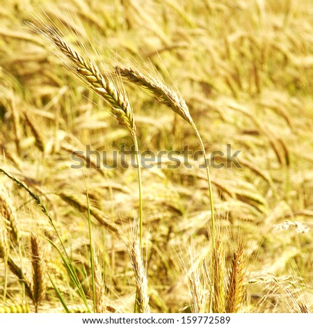 the rye field close up - stock photo