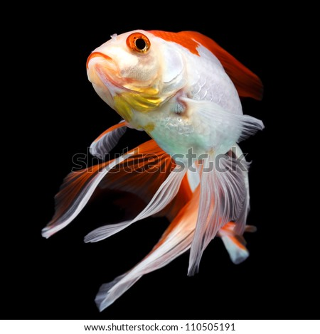 The ryukin is a deep bodied fancy goldfish with a for The fancy fish