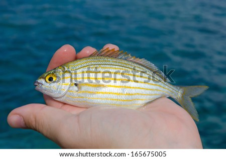 The Salema porgy (Sarpa salpa) in an angler's hand.
