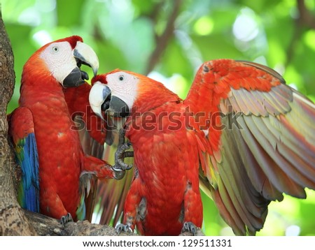 The Scarlet Macaw - stock photo